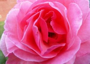 Jasper Harvest Festival Rose