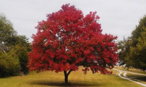 camp tree 1
