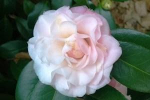 1-22-15 Camellia