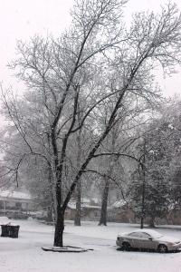 2-25-15 snowy pecan tree