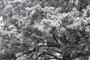 2-25-15 snowy pine
