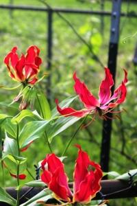 6-9-15 flame lilies