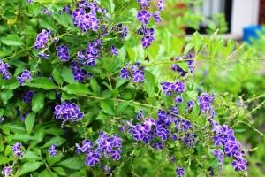 5-30-16 blue flowers - Copy