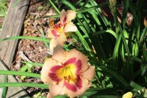 5-30-16 daylilies