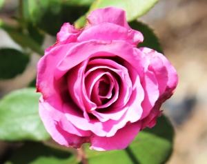 5-30-16 lavender rose