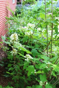 5-30-16 oak leaf hydrangeas