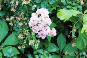 5-30-16 roses