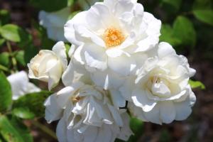 5-30-16 white roses