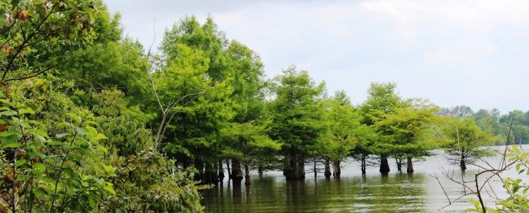 6-14-17 cypress trees