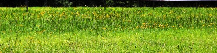 6-14-17 wildflowers
