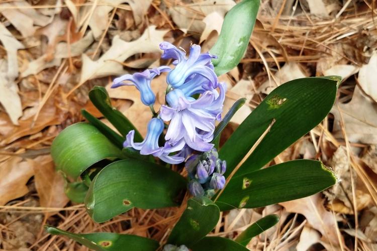2-20-18 hyacinth