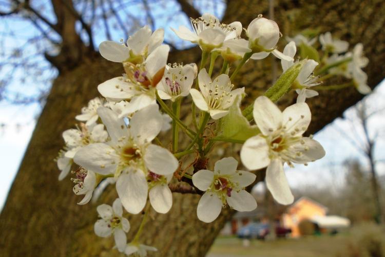 3-16-18 bradford pear blossoms