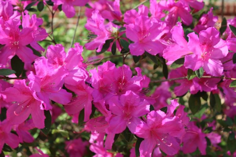 3-30-18 azalea closeup
